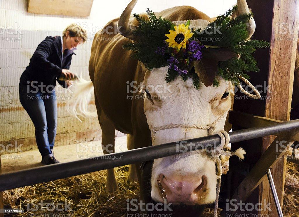 Swiss farmer woman preparing simmental cattle for Aelperfest royalty-free stock photo