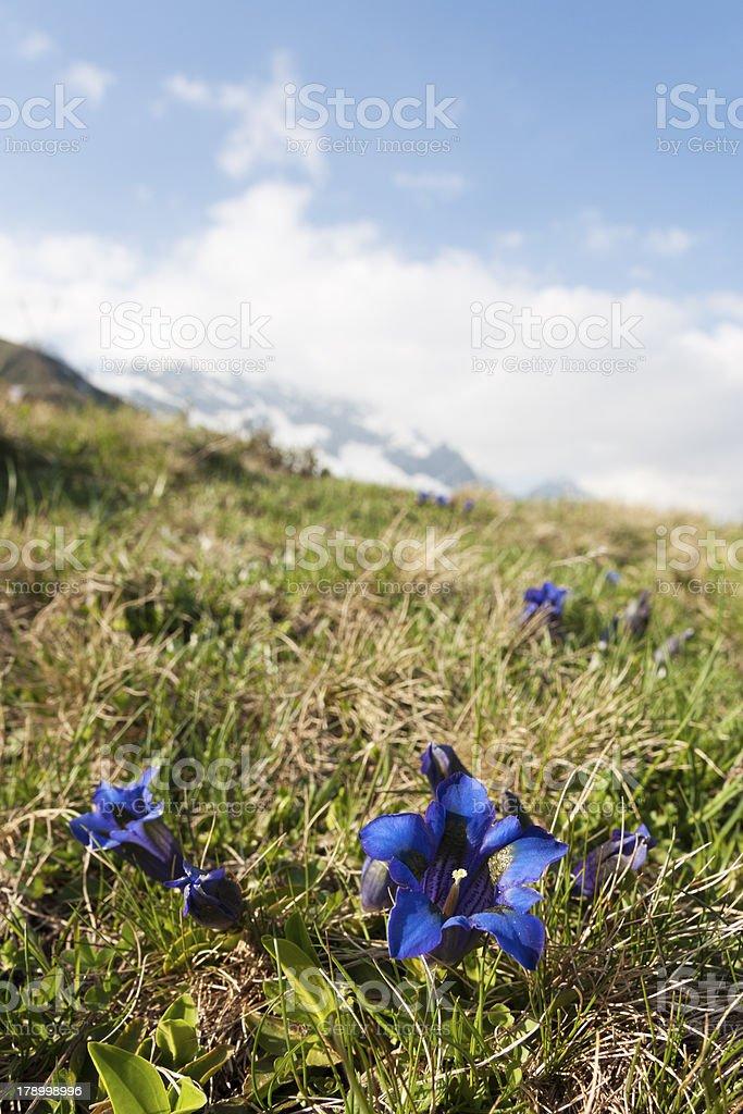 Swiss Gentian flowers royalty-free stock photo