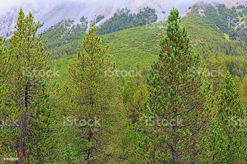 Swiss pine trees pattern landscape: Evergreen trees, green woodland foliage stock photo