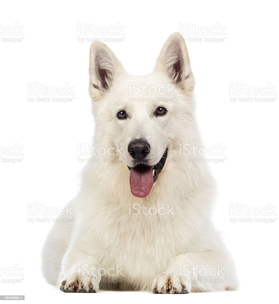 Swiss Shepherd dog, 5 years old, lying, panting royalty-free stock photo