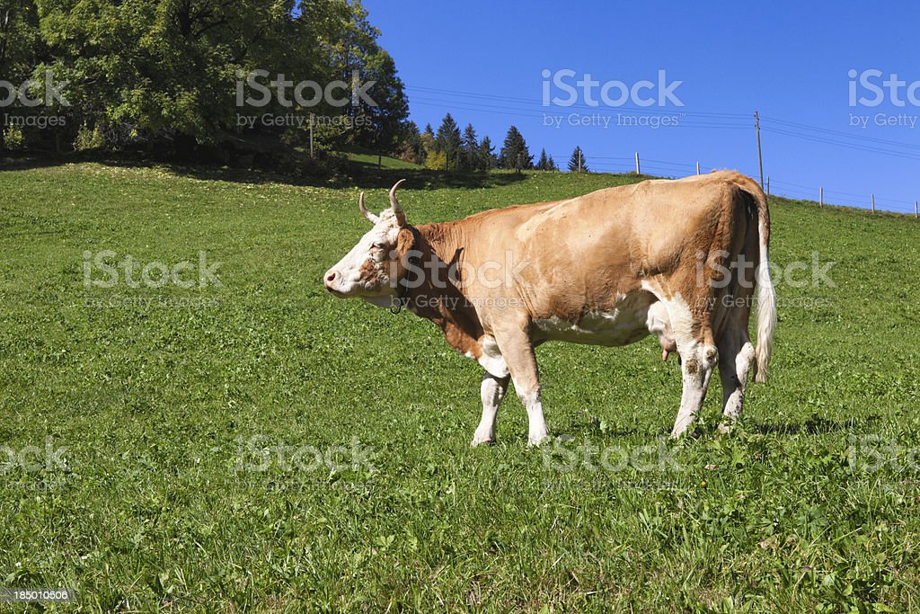 Swiss Simmental Cow walking on a hillside stock photo