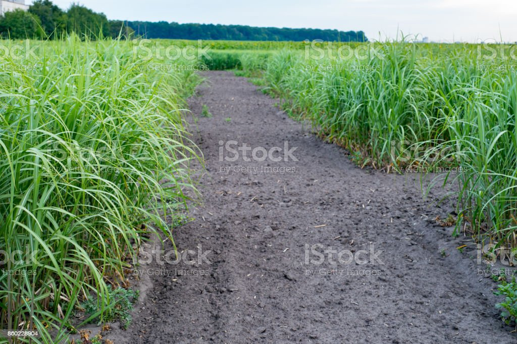 switchgrass field with crop for bio-refineries stock photo