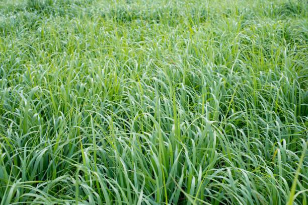 Switchgrass (Panicum virgatum) for Biofuel Production stock photo