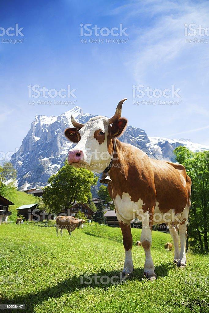 Switzerland cow stock photo