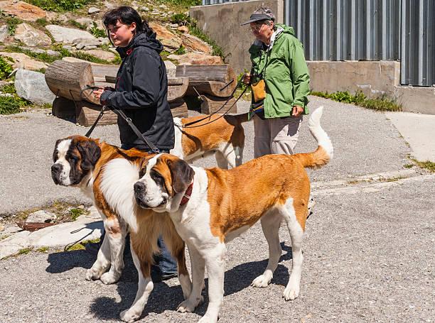 Svizzera. Cani di Saint Bernard ospizio con loro formatori - foto stock