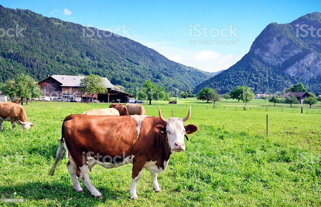 Switzerland Milk Cow stock photo