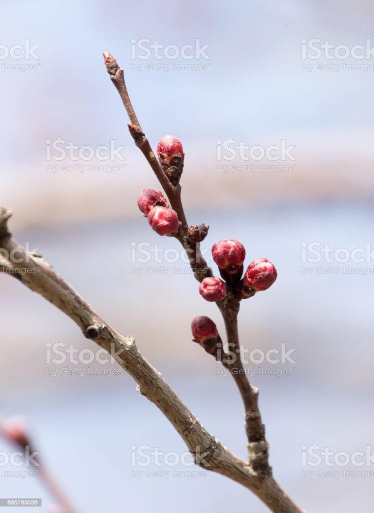 swollen buds with flowers on a tree in spring stock photo