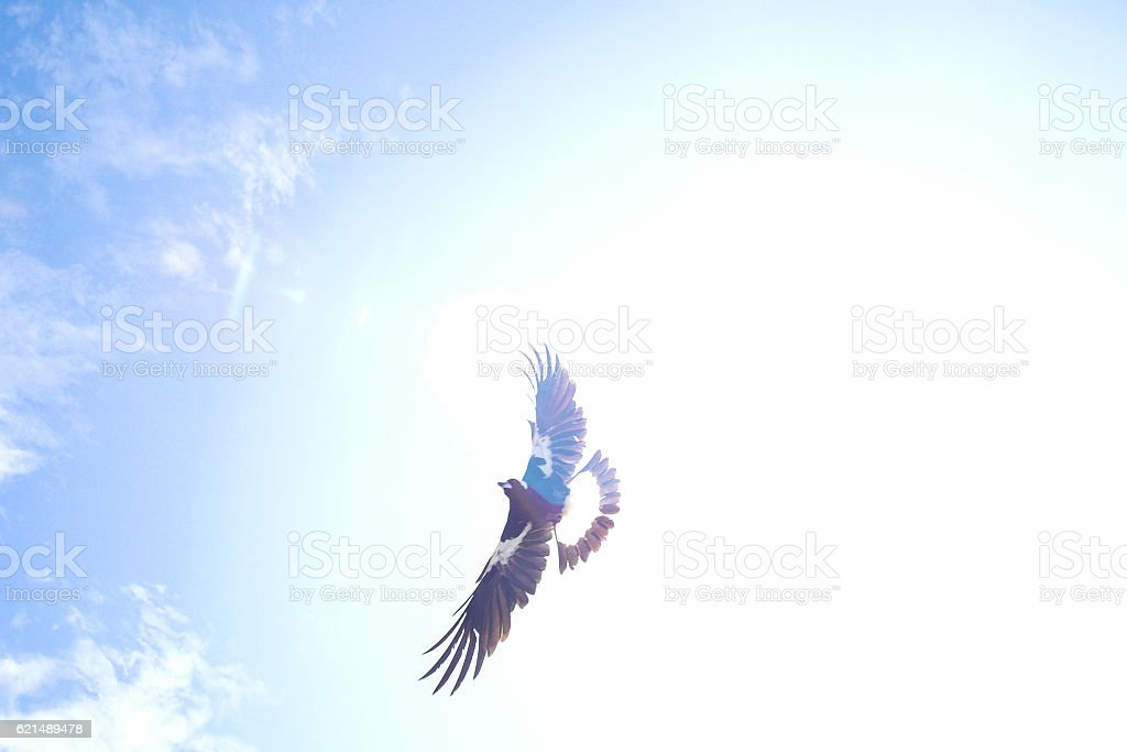 Swooping magpie against sun foto stock royalty-free