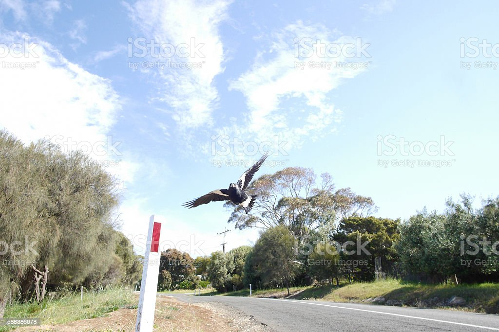 Swooping magpie stock photo