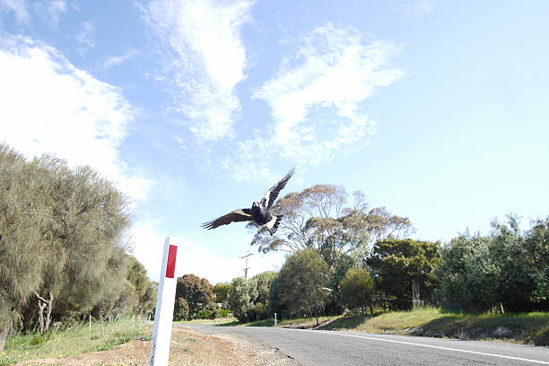 swooping magpie - pie photos et images de collection