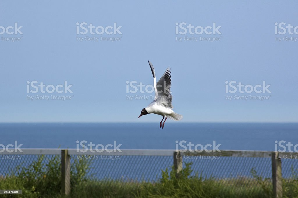 Swooping Seagull royalty-free stock photo