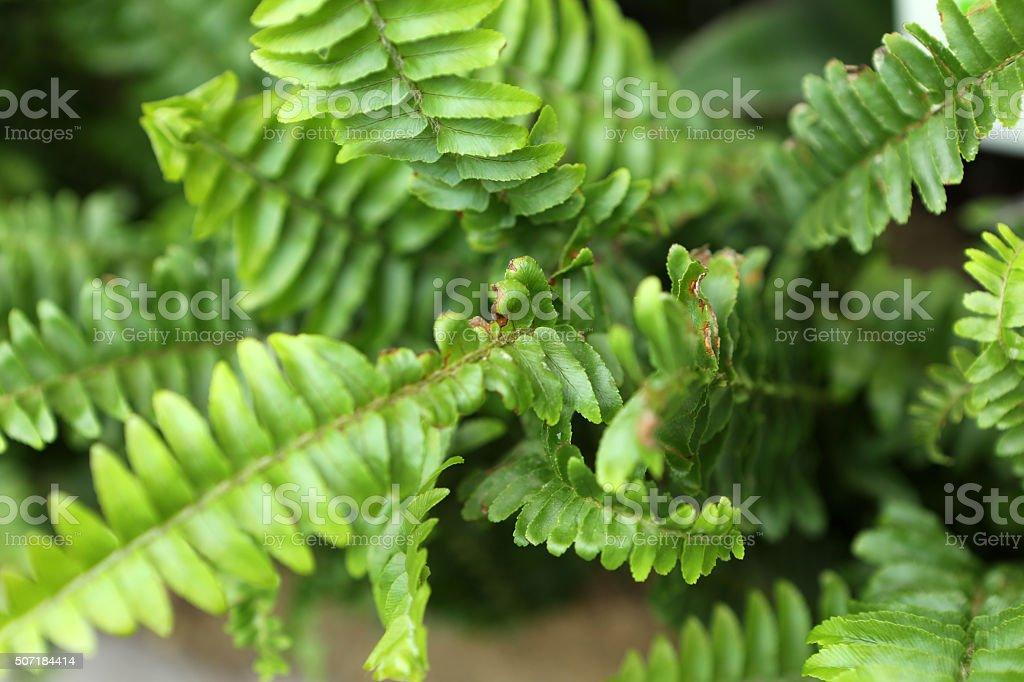 Sword Fern - Davalliaceae stock photo