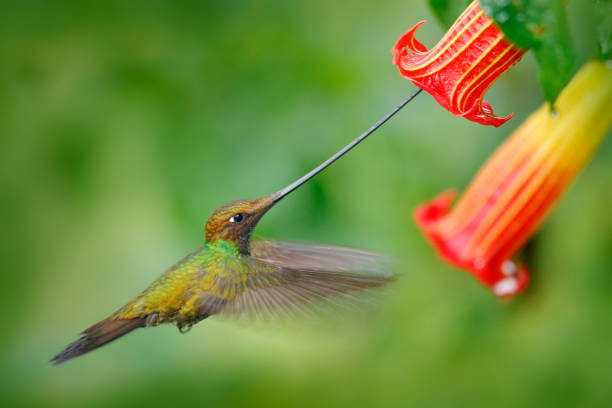 Sword-billed hummingbird, Ensifera ensifera, fly next to beautiful orange flower,bird with longest bill, in nature forest habitat, Ecuador. Wildlife scene, tropic forest. Birdwatching, South America stock photo