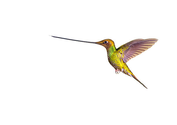 Swordbilled hummingbird picture id625881218?b=1&k=6&m=625881218&s=612x612&w=0&h=mxqxtgg97 3a4wwd91hws91irtoupkmft48htvheqvy=