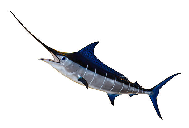 Swordfish- Blue Marlin Blue Marlin cutout dorsal surface stock pictures, royalty-free photos & images