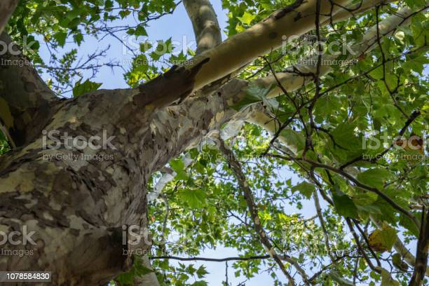 Photo of Sycamore bottom up, old tree trunk with green leafs, summer season