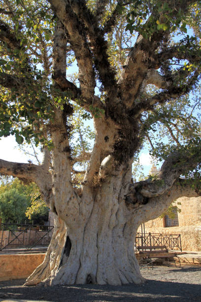 Sycamore Fig Sycamore Fig Tree at Monastery of Ayia Napa, Cyprus sycamore tree stock pictures, royalty-free photos & images