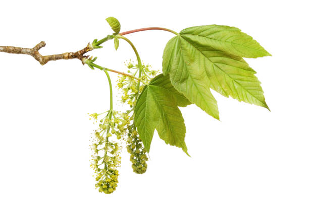 Sycamore flowers and leaves Fresh Spring Sycamore leaves and flowers isolated against white sycamore tree stock pictures, royalty-free photos & images