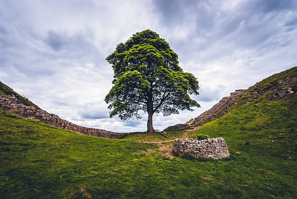 Sycamore Gap and Hadrian's Wall Northumberland, United Kingdom - June 29, 2014: Sycamore Gap on Hadrian's Wall in Northumberland.  A small circular wall protects a replacement sycamore sapling sycamore tree stock pictures, royalty-free photos & images