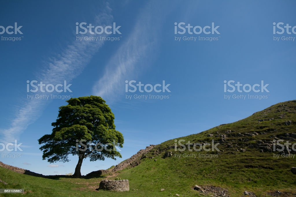 Sycamore Gap in Hadrians Wall with blue sky and contrails stock photo