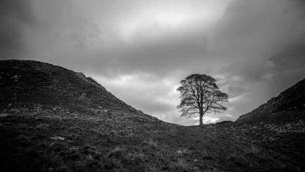 Sycamore Gap Sycamore Gap in Northumberland National Park in black and white with moody sky sycamore tree stock pictures, royalty-free photos & images