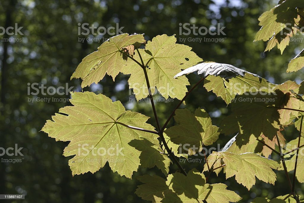 sycamore in spring royalty-free stock photo