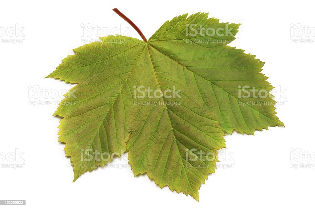 Sycamore Leaf stock photo