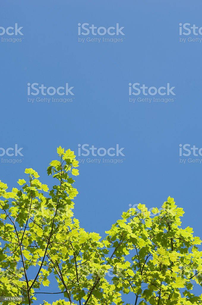Sycamore leaves in spring royalty-free stock photo