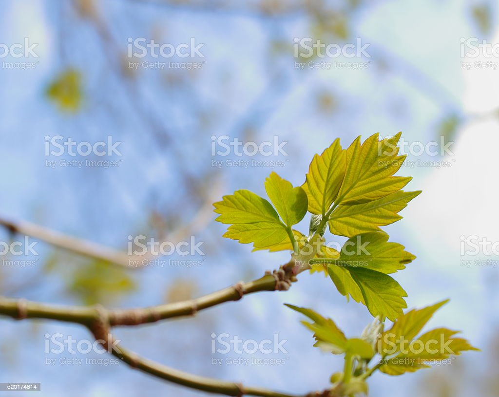 Sycamore leaves in spring stock photo