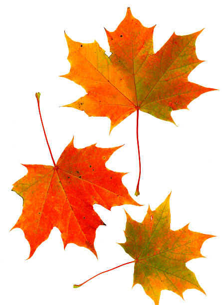 Sycamore leaves Scan of three medium sized red and orange sycamore leaves. sycamore tree stock pictures, royalty-free photos & images