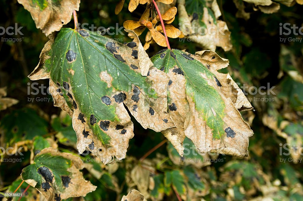 Sycamore leaves with tar spot disease stock photo