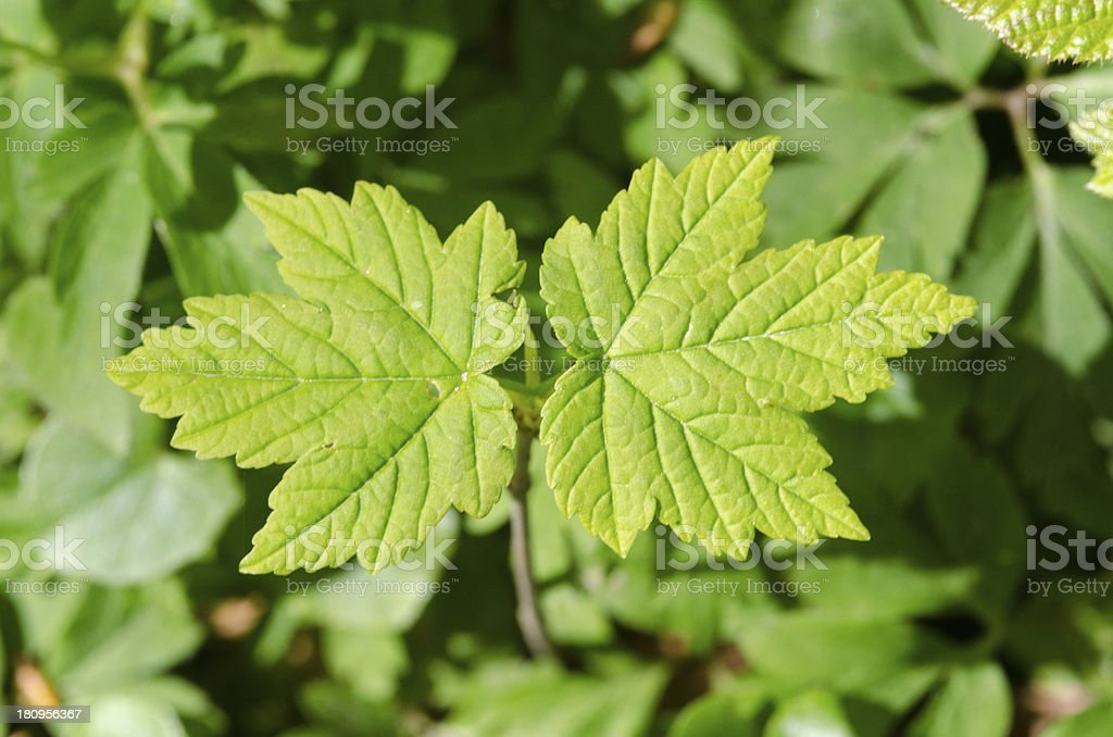 Sycamore maple, Acer pseudoplatanus stock photo