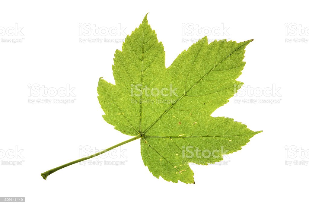 Sycamore maple leaf isolated on white stock photo