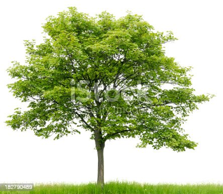 Sycamore Maple (Acer pseudoplatanus) on meadow isolated on white.