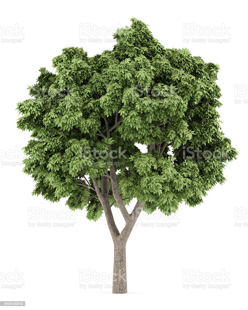 Sycamore maple tree isolated on white background stock photo