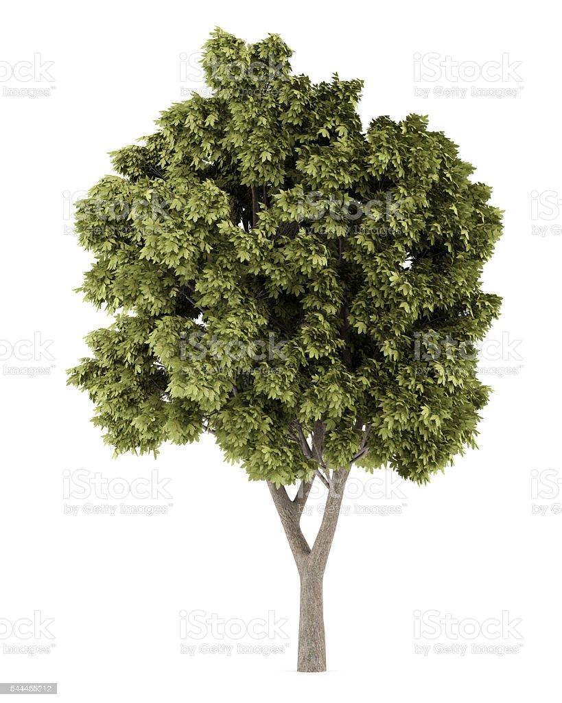 Sycamore maple tree isolated on white background stock photo