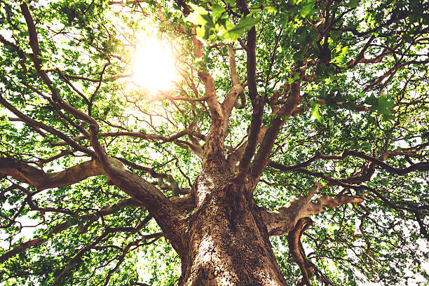 Sycamore Sycamore trunk with thick branches and leaves against blue sky background at sunny day sycamore tree stock pictures, royalty-free photos & images