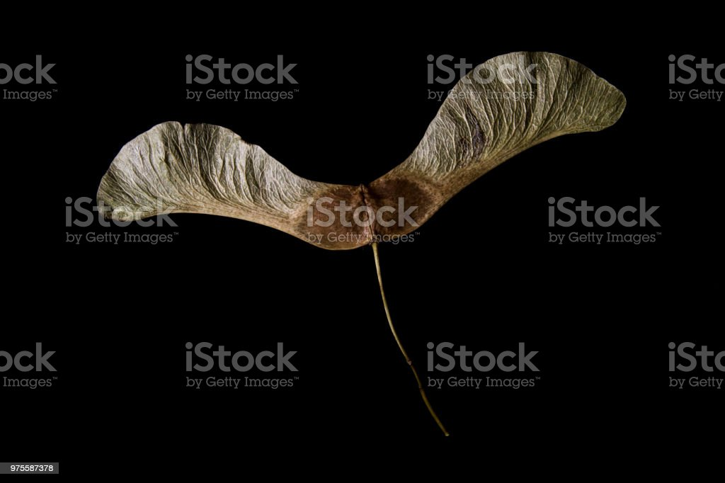 Sycamore seed on black background stock photo