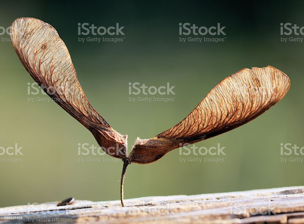 sycamore seed stock photo