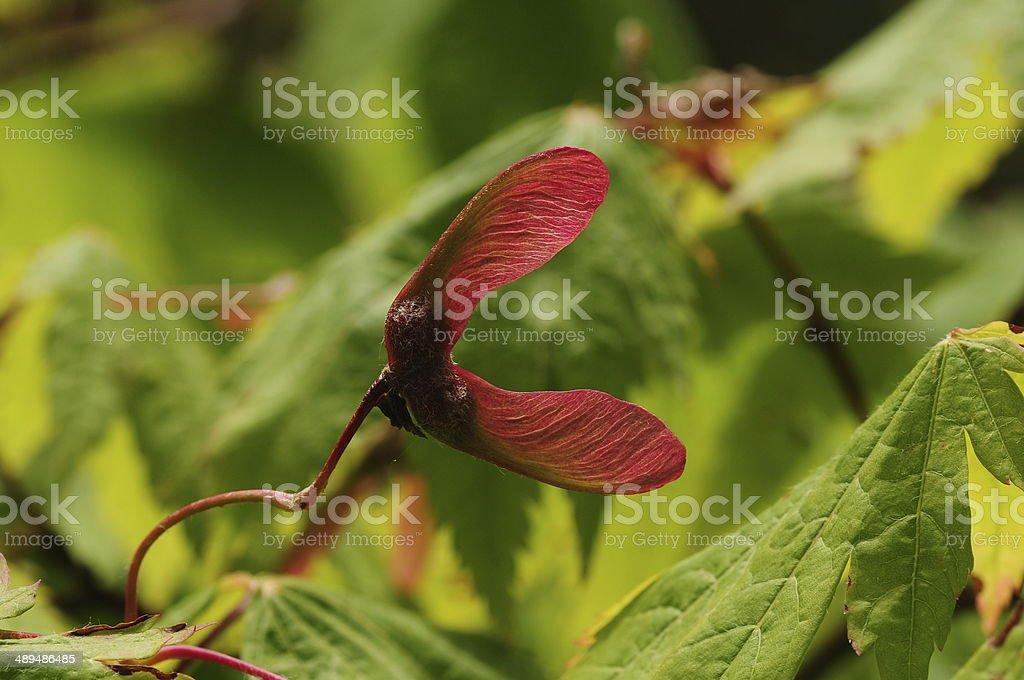 Sycamore seed, U.K. stock photo