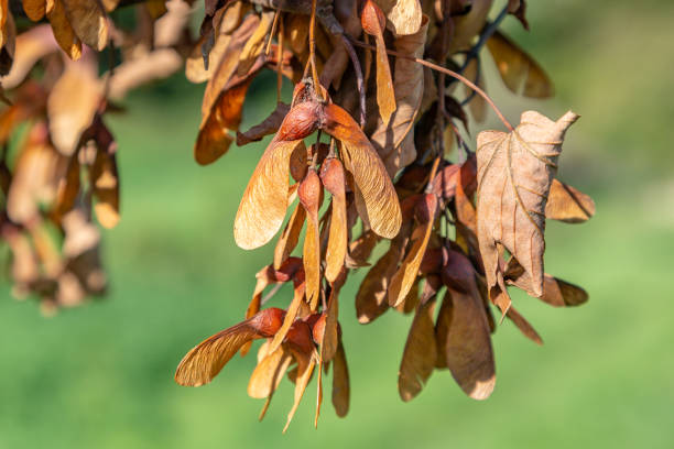 Sycamore Seeds Brown leaves and seeds of a fallen sycamore tree sycamore tree stock pictures, royalty-free photos & images