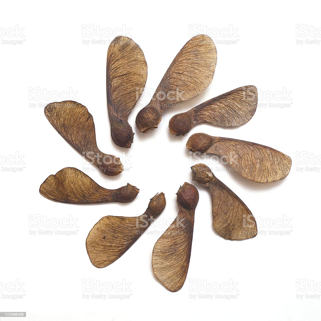 Sycamore seeds (Isolated with high key) royalty-free stock photo