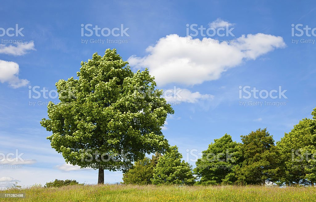 Sycamore tree against blue sky stock photo
