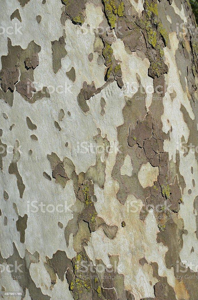 Sycamore tree bark royalty-free stock photo