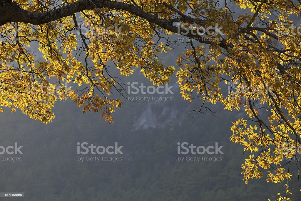 Sycamore tree branch with yellow autumn leaves in frame form royalty-free stock photo