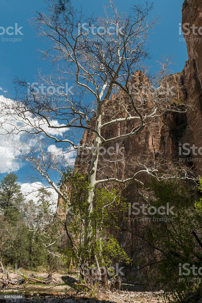 Sycamore tree growing by the Gila River in New Mexico. royalty-free stock photo
