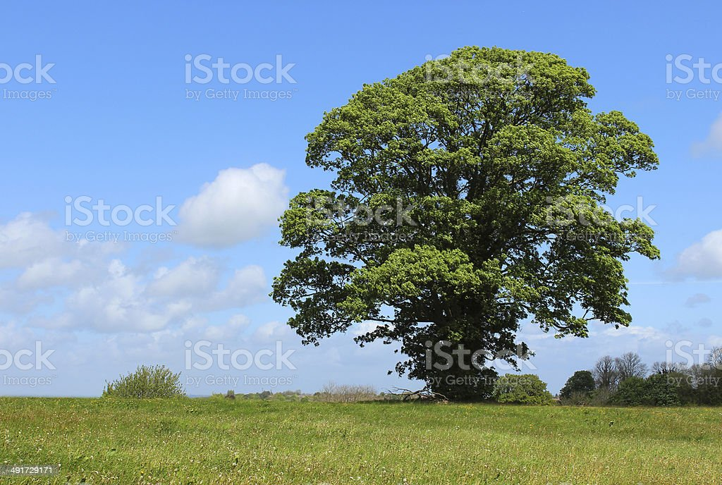 Sycamore tree (acer pseudoplatanus) growing in field with blue sky stock photo