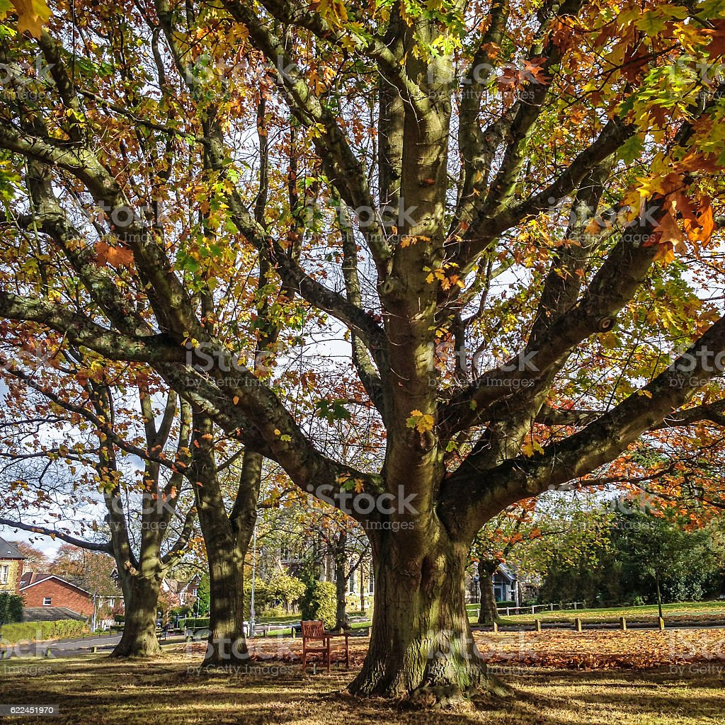 Sycamore Tree in Autumn. stock photo