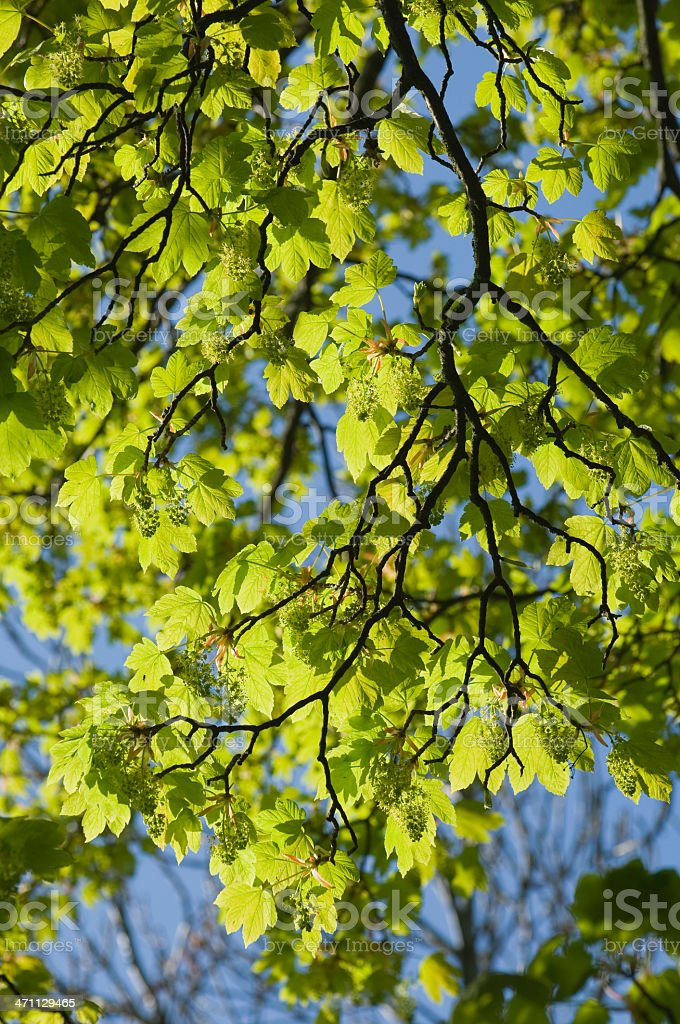 Sycamore tree in spring stock photo