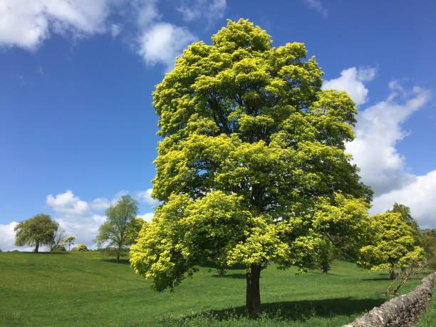 Sycamore Tree In Spring (Landscape) Fresh spring foliage on a sycamore tree on a sunny day. sycamore tree stock pictures, royalty-free photos & images